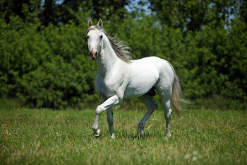 Purebred dressage horse walking in a field